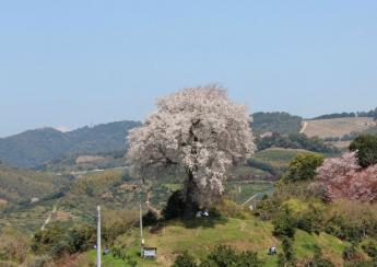 헤이케의 신목, 헤이케 한 그루의 벚꽃 나무
